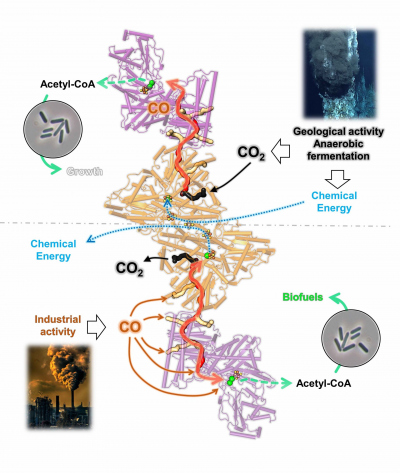 bidirectionality of the CODH/ACS complex from C. autoethanogenum  (© Max Planck Institute for Marine Microbiology, T. Wagner and O. Lemaire)