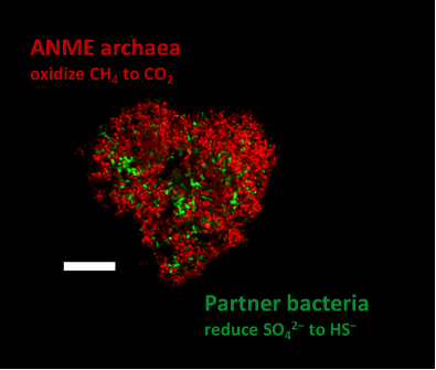Microbial consortia of anaerobic methane oxidizing archaea stained in red and their sulfate-reducing partner bacteria stained in green. The white scale bar marks 10 µm. © Max Planck Institute for Marine Microbiology / V. Krukenberg